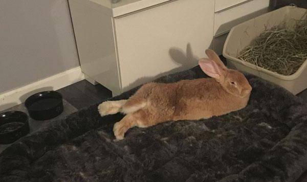 Можно ли приучить декоративного кролика к лотку