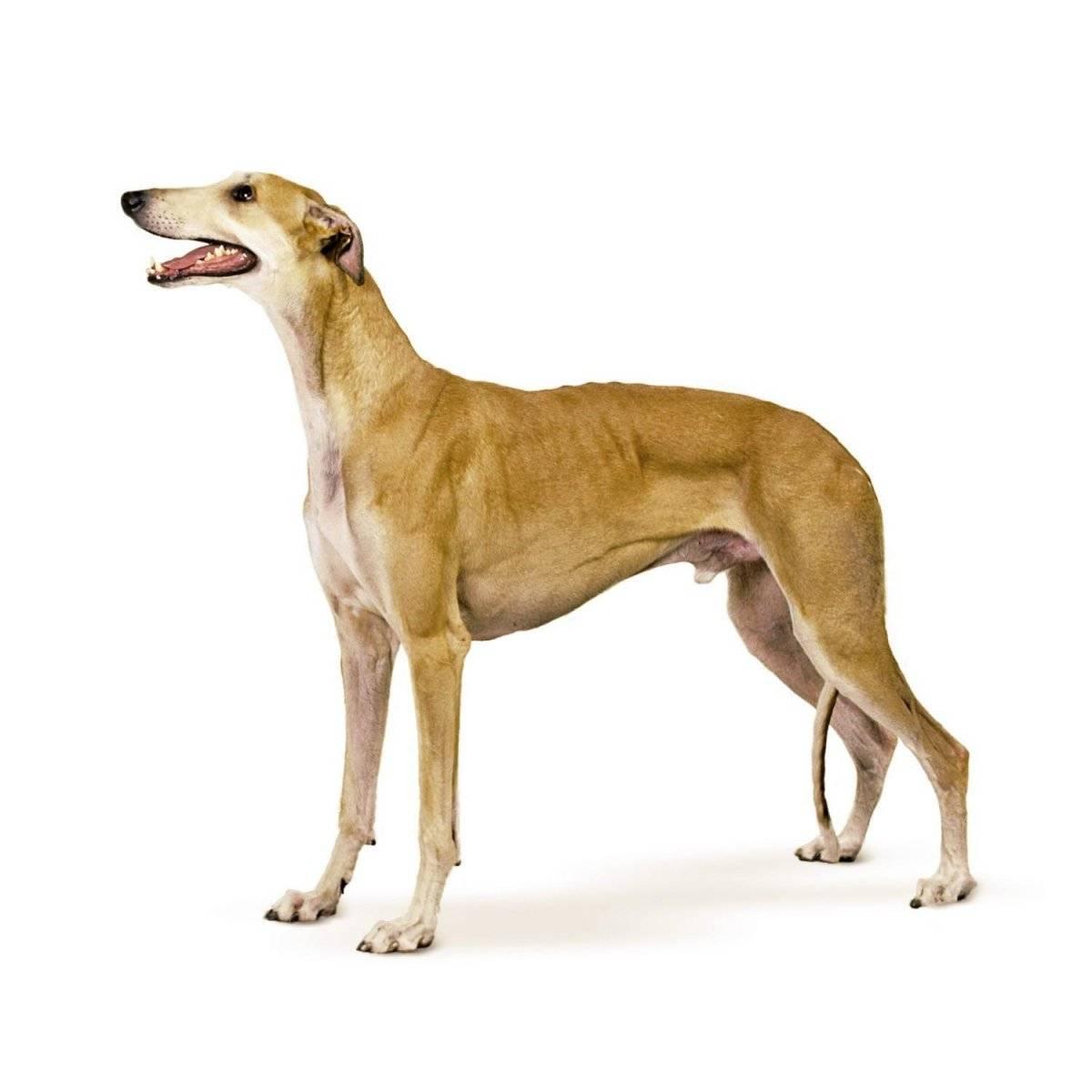 Грейхаунд: собака, способная поймать зайца за пару секунд