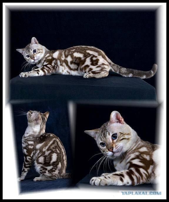 6 существующих окрасов котов и кошек: таблица окрасов