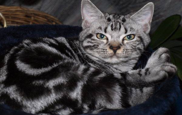Американская короткошёрстная кошка