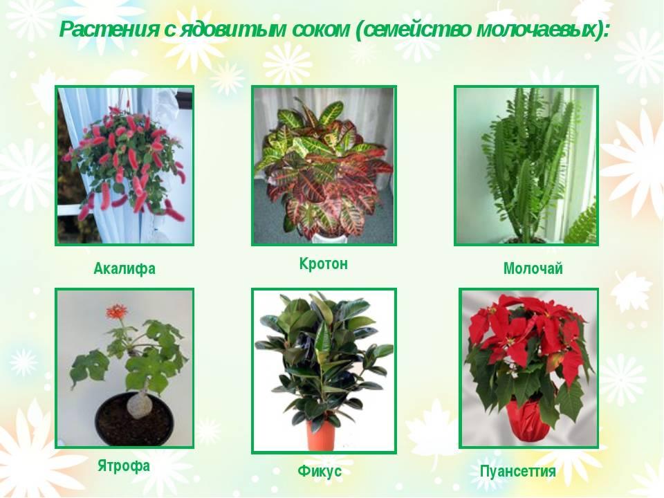 Какие комнатные цветы ядовиты и вредны? 7 опасных комнатных растений