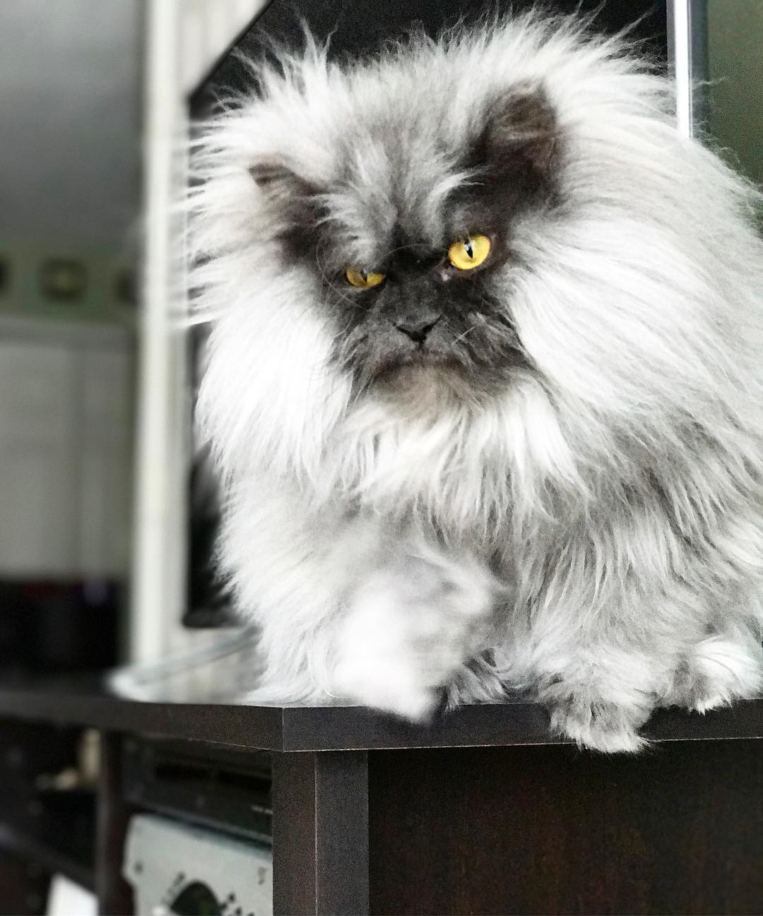 Самые злые кошки в мире | породы с фото