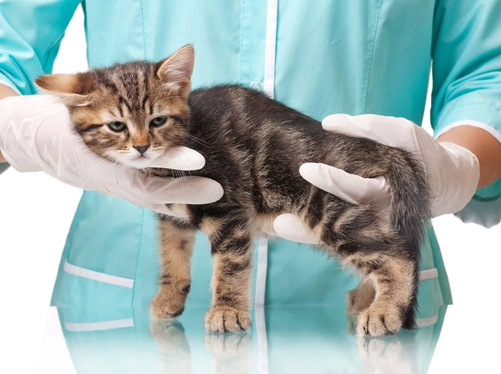 Простуда у кота симптомы и лечение - муркин дом