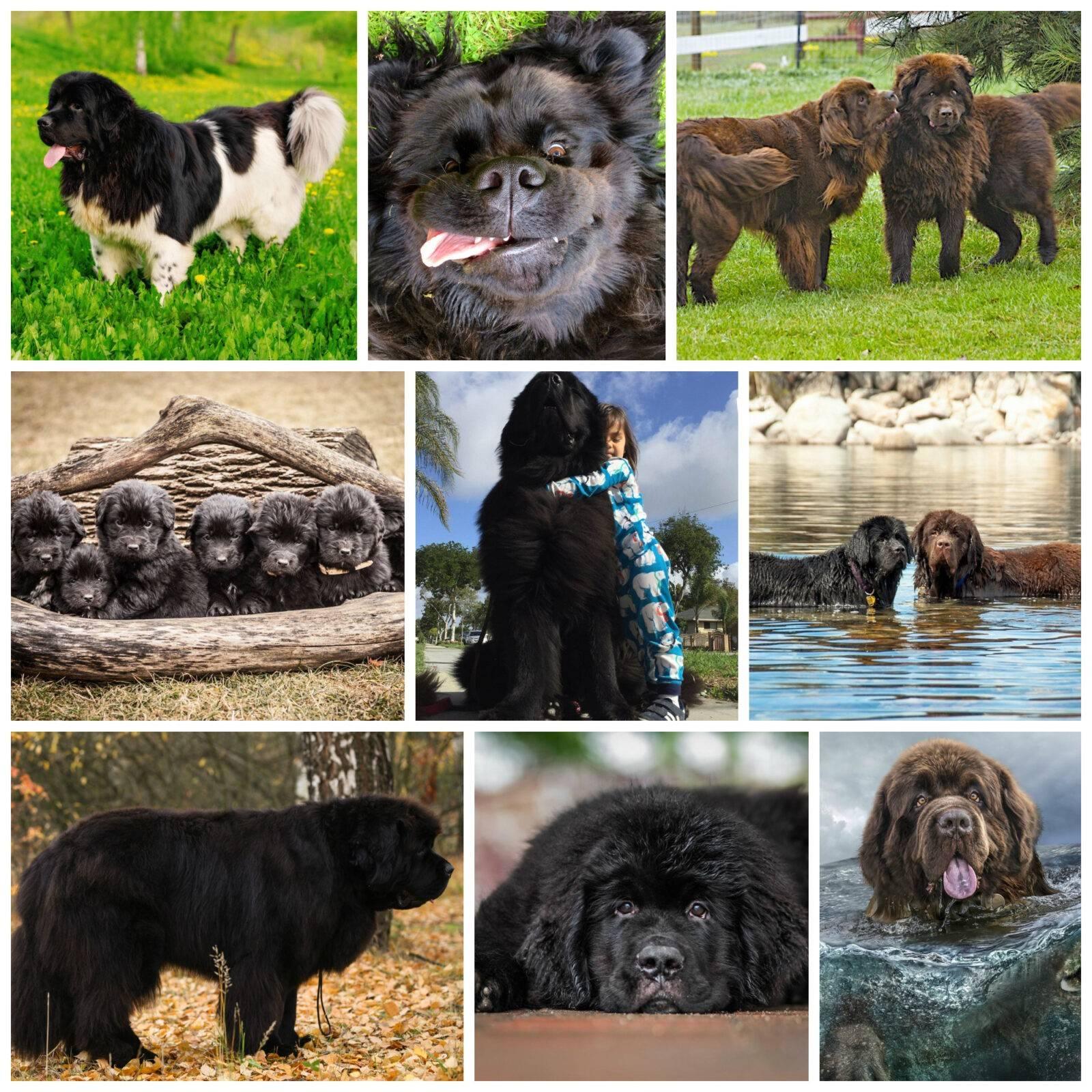 Ньюфаундленд — описание породы, характер пса и уход за породой (130 фото и видео)