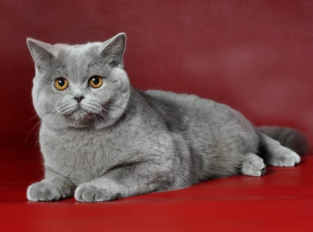 Британская короткошерстная кошка, коты и котята