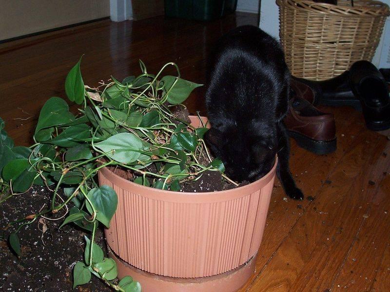 Как отучить кошку лазить в цветочные горшки: рыть и копаться нельзя