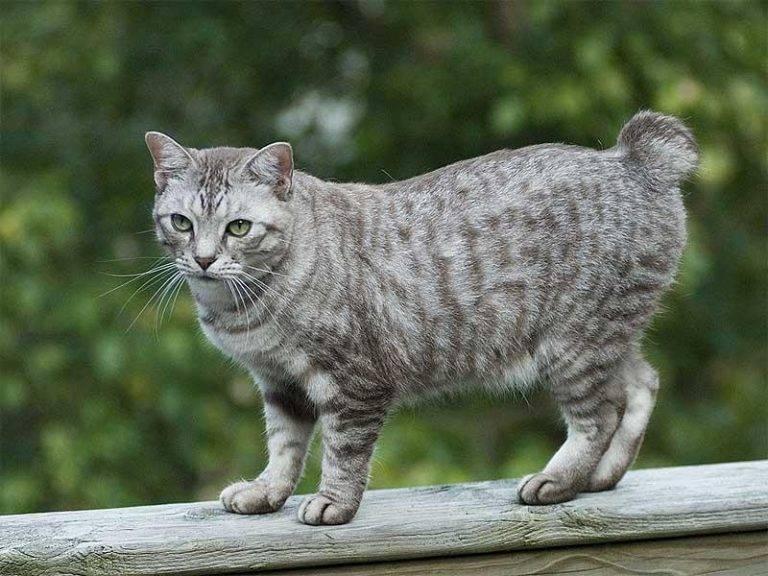 Кошка бобтейл: 135 фото породы и характеристика длинношерстного и короткошерстного вида