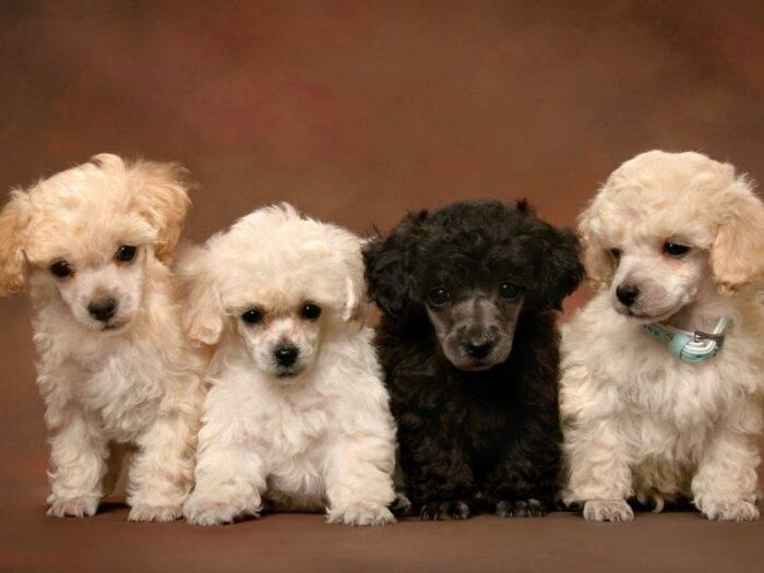Размеры той пуделя: таблица с ростом и весом в 1, 2, 3 и 4 месяца и фото взрослой собаки. до какого возраста продолжают расти?
