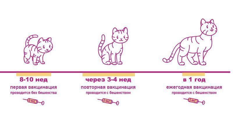 Прививки котятам, какие и когда делать. календарь первых прививок для ваших домашних питомцев. схема вакцинации кошек и котов разных пород