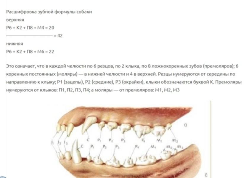 Какое строение имеют верхняя и нижняя челюсть у человека: строение клыков и описание расположения зубов