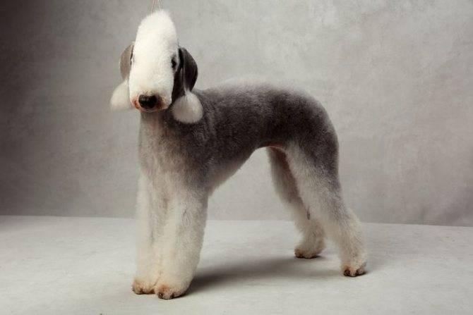Бедлингтон терьер: описание породы собак с фото и видео