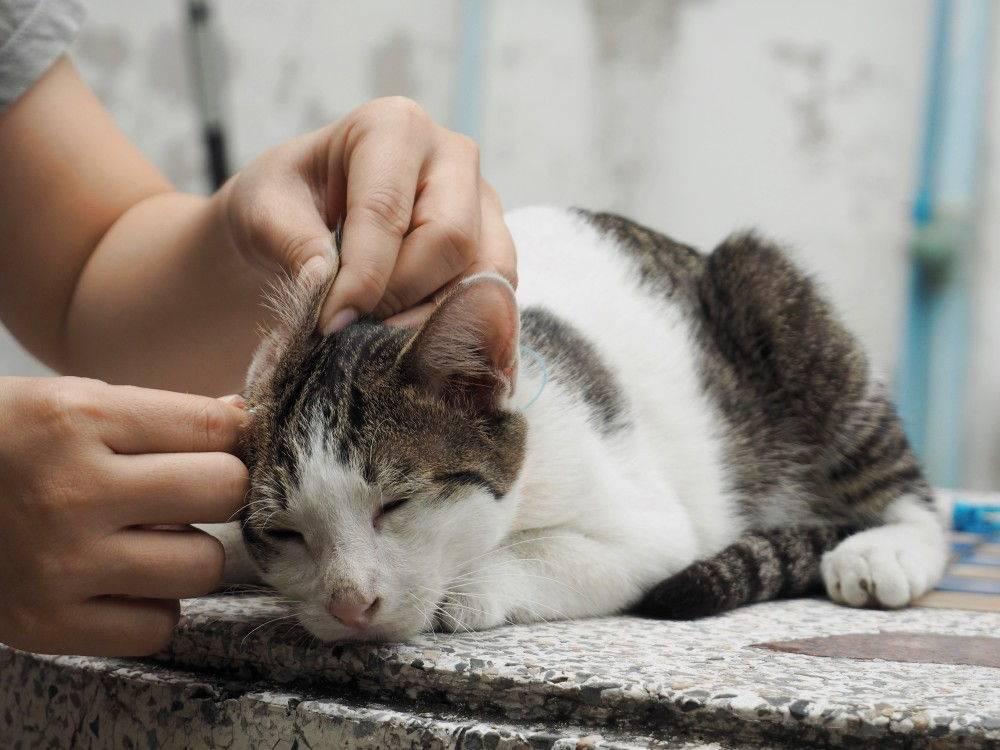 Как правильно почистить уши кошке в домашних условиях и в каких случаях процедура необходима?