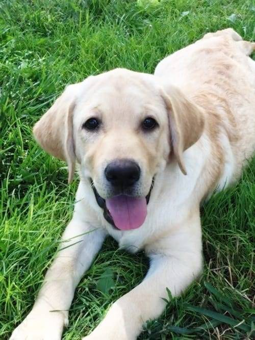 Черный лабрадор: описание и характер взрослой собаки и щенка