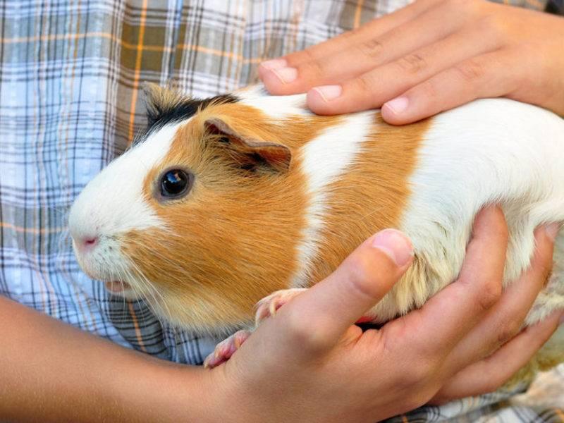 Содержание морских свинок в домашних условиях: плюсы и минусы