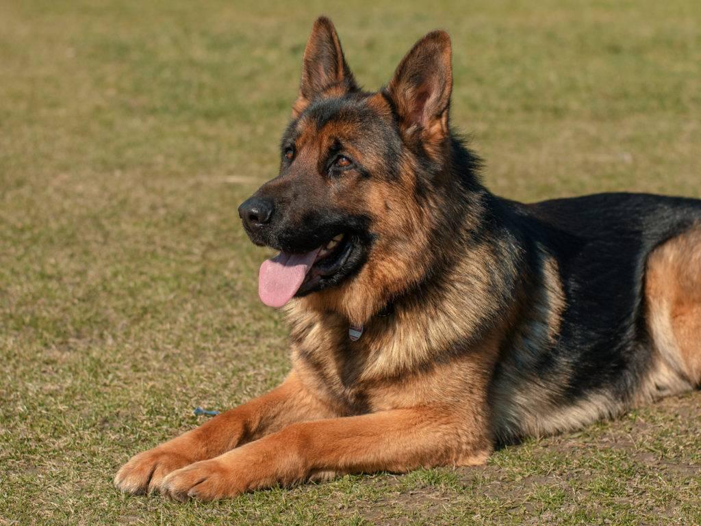 Выбор щенка немецкой овчарки – советы и рекомендации