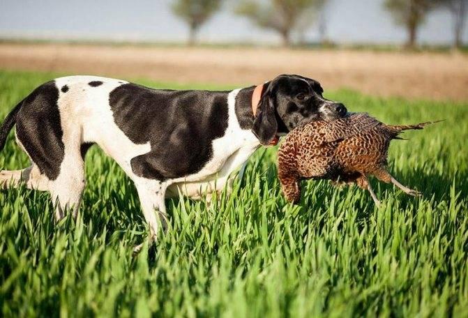 Английский пойнтер собака. описание, особенности, уход и цена английского пойнтера | sobakagav.ru