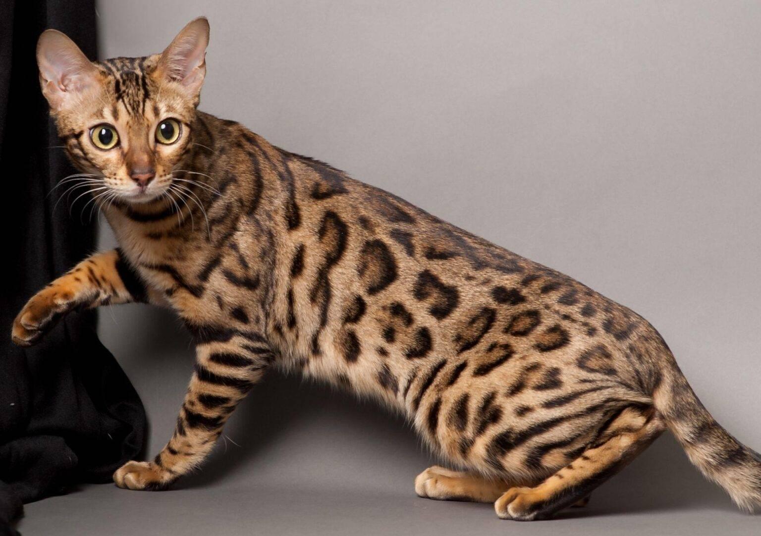 Породы кошек тигрового и леопардового окраса