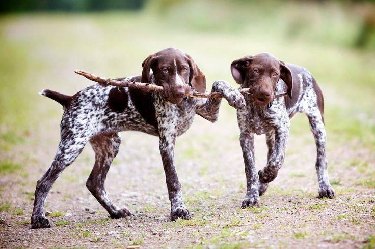 Самые популярные породы охотничьих собак (описание + фото)
