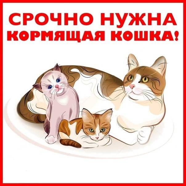 Чем кормить кормящую кошку
