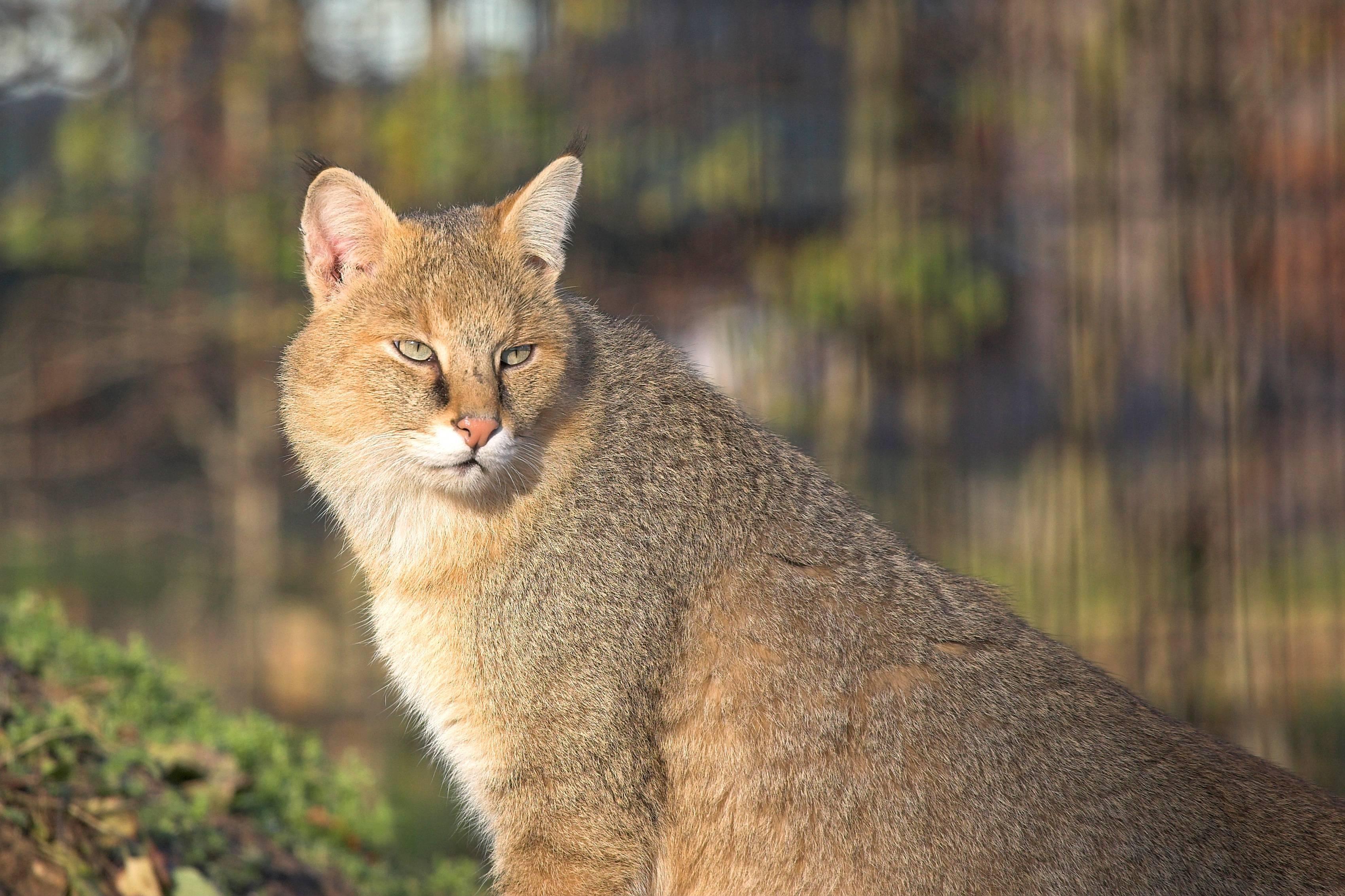Дикий камышовый кот (болотная рысь): фото, цена, описание породы