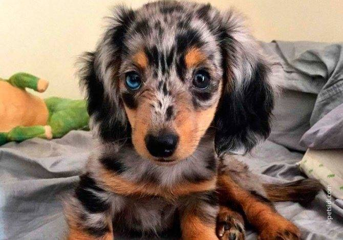 Такса мраморная: как выглядит на фото пятнистая собака и питомец с голубыми глазами, а также как правильно выбрать щенка