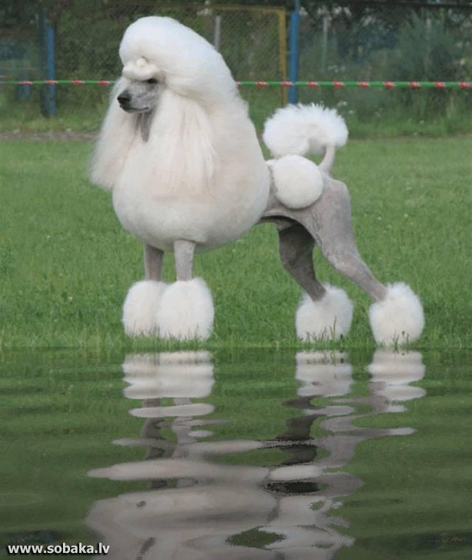 7 пород собак похожих на пуделя. это интересно!