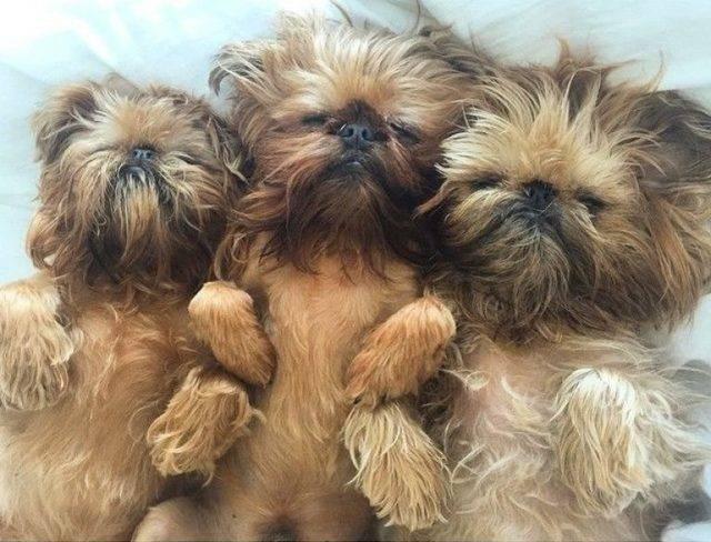 Собака брюссельский гриффон (39 фото): описание бельгийской породы, выращивание щенков