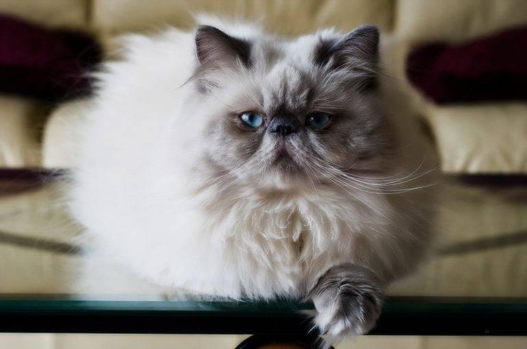 Гималайская кошка: фото, отзывы и описание породы, характер, видео