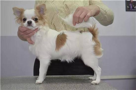 Стрижка чихуахуа длинношерстного и короткошерстного: нужно ли подстригать собак этой породы и какие прически существуют + фото