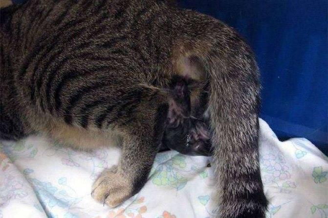 Все что стоит знать о беременности кошки