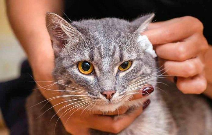 Из-за чего у кошки постоянно грязные уши внутри?