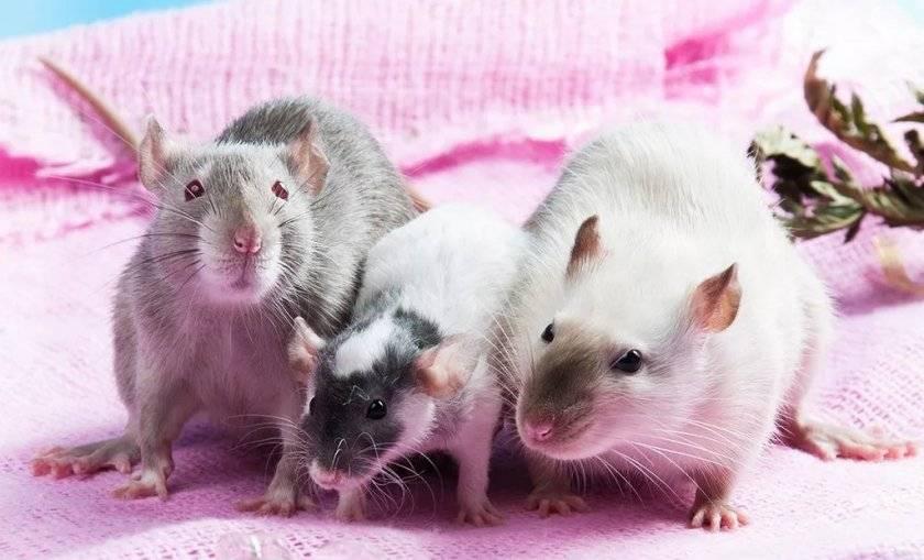 Описание крысы: как выглядят уличные и декоративные грызуны, внешность грызунов в зависимости от вида