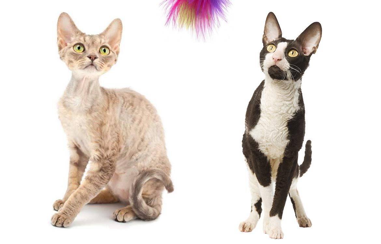 Домашние кошки. породы кошек короткошерстные полудлинношерстные длинношерстные. — презентация