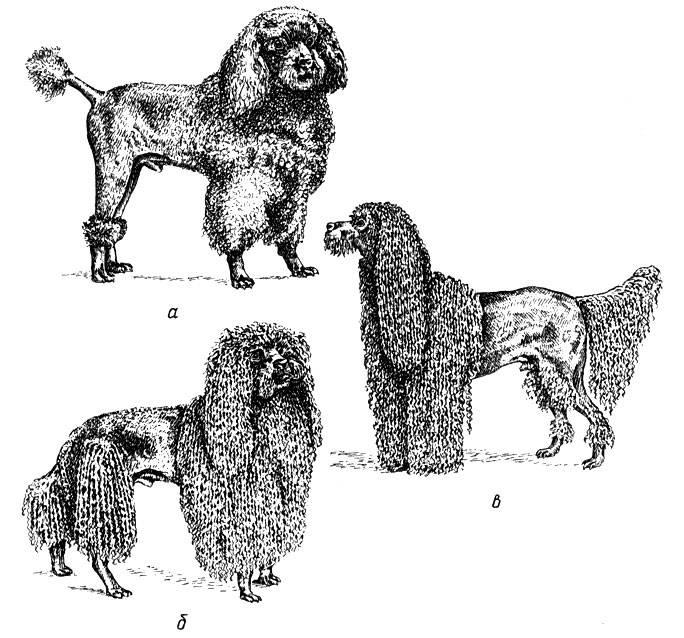 Порода собак малый пудель — незаменимая собака-компаньон