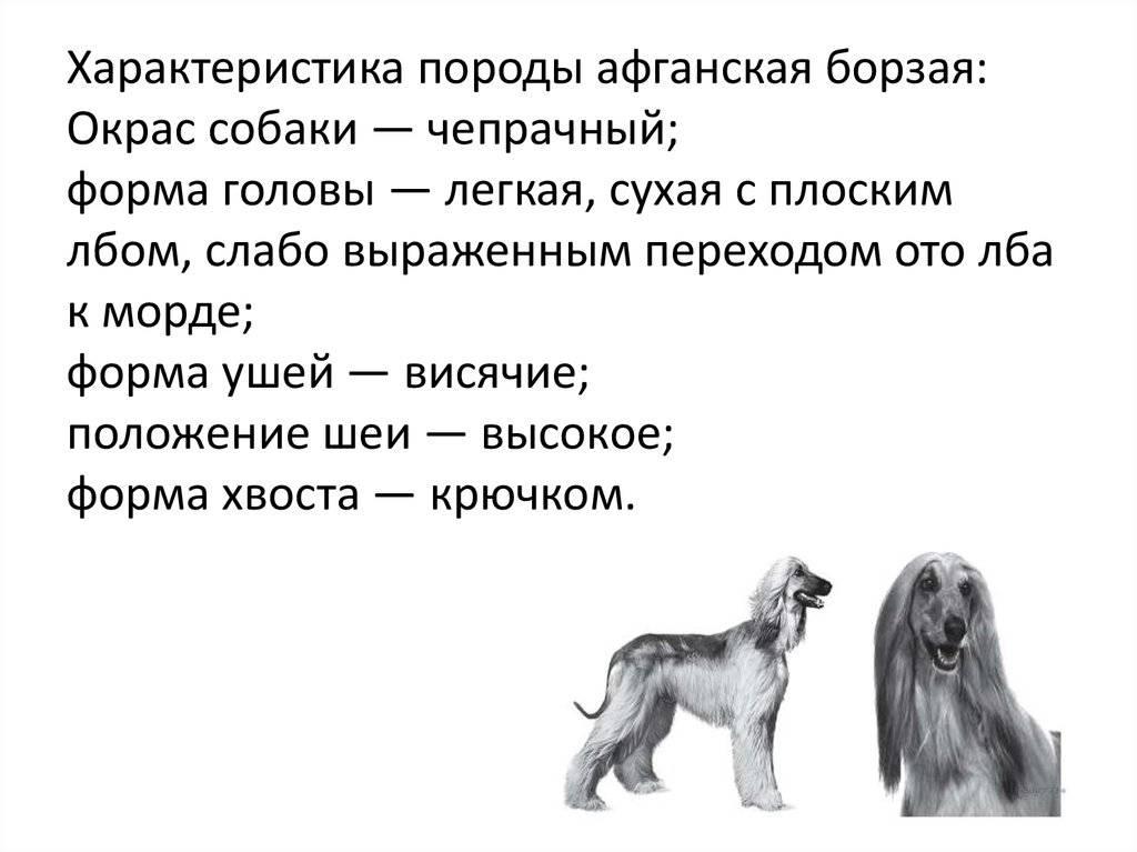 Подробная характеристика афганской борзой породы собак: все особенности