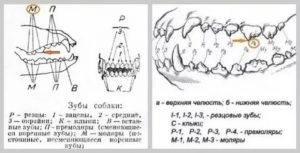 Смена зубов у щенков: схема смены молочных зубов, виды, прикуса, кормление щенка, особенности смены зубов у такс, шпицев, овчарок, лабрадоров, возможные осложнения