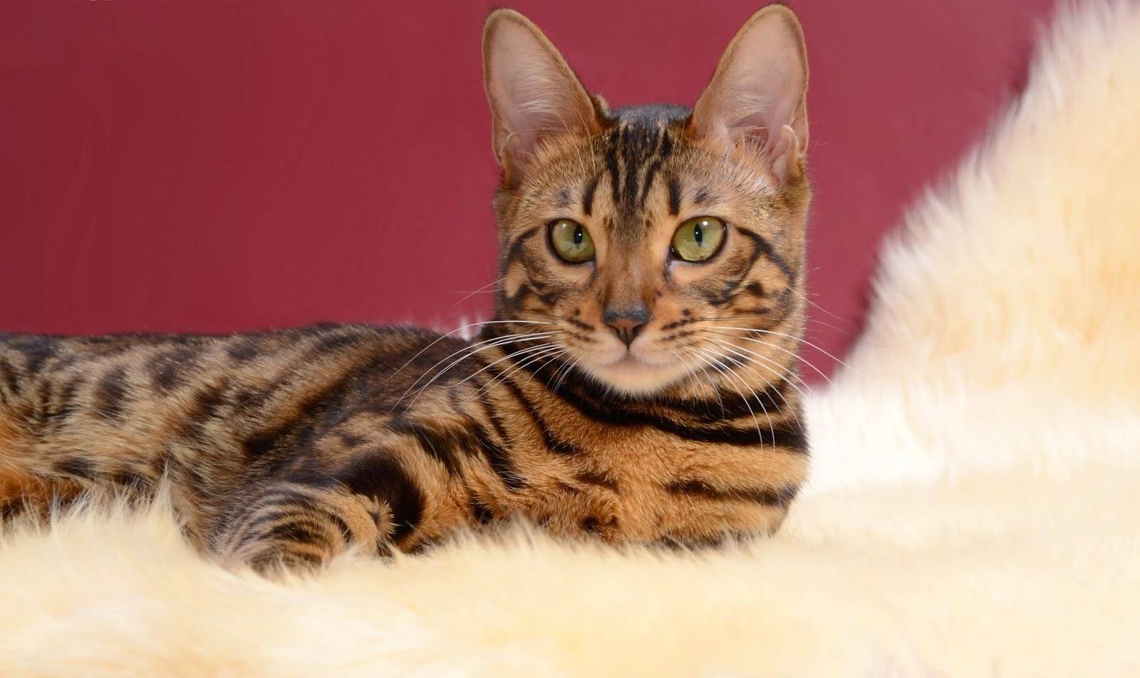 Описание породы бенгальская кошка: как содержать «минилеопарда» вдомашних условиях