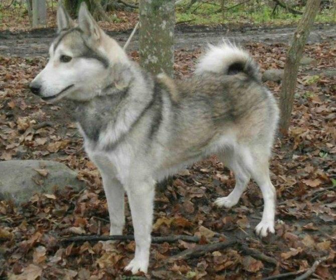 Охотничья собака лайка: как выглядит, разновидности, описание, уход и характер, фото