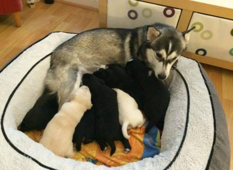 Как определить беременность у собаки хаски