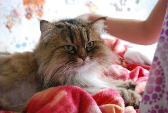 Как правильно вычесывать кошку: расчески для процедуры
