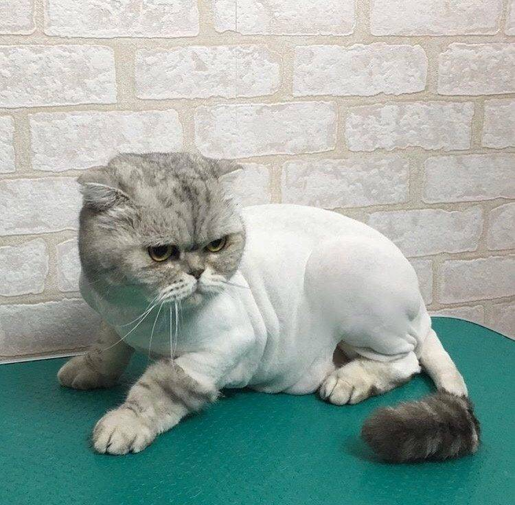 Кастрация британского кота. 6 причин почему нужно кастрировать