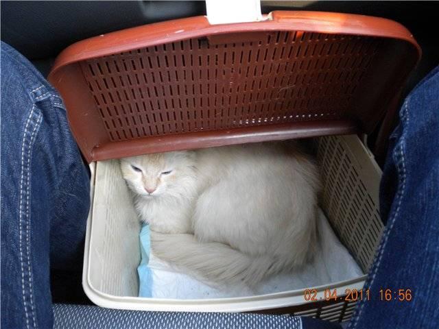 Как перевозить кошек в поезде? 22 фото правила перевозки кота в россии на дальние расстояния. какие документы нужны для провоза?