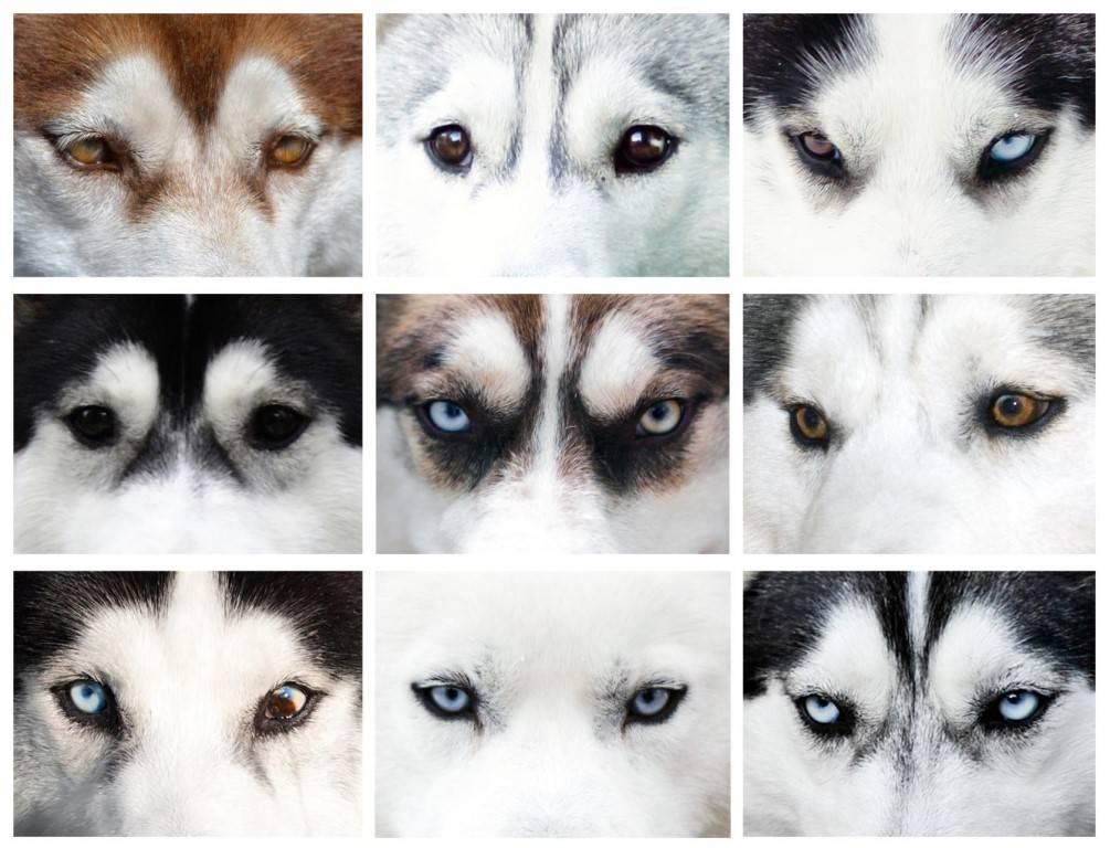 Сибирский хаски разные глаза. почему у хаски разные глаза. какие бывают виды хаски - новая медицина