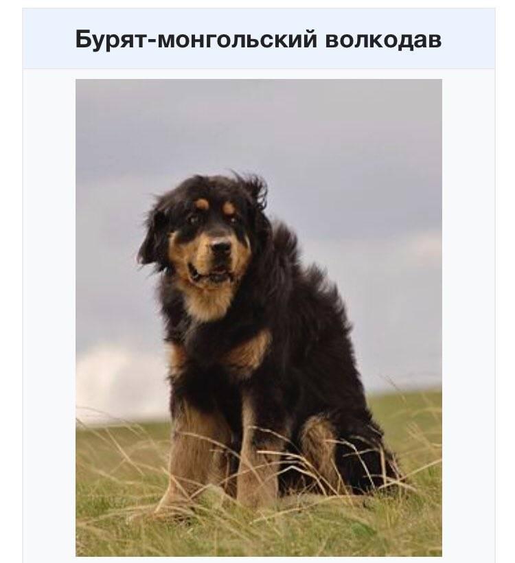 Бурят монгольский волкодав: питание, характер, дрессировка