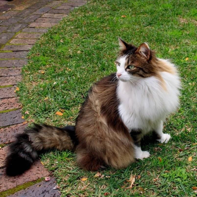 Норвежская лесная кошка: история породы, характеристики, фото, уход и содержание в домашних условиях, отзывы владельцев кота