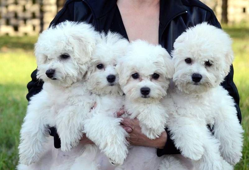 Порода собак бишон фризе - описание, характер, характеристика, фото бишон фризе и видео, цена