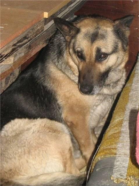 Течка у собак — признаки, этапы, периодичность ⋆ собакапедия