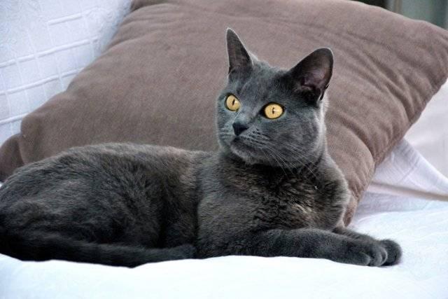 Отличия кошки британской породы от шартреза