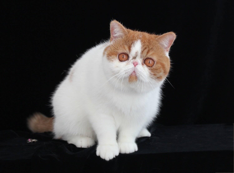 Экзотическая короткошерстная кошка