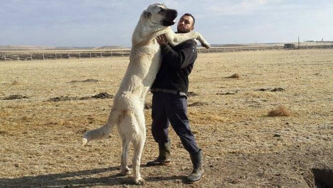 Самая сильная бойцовская собака: выносливые и боевые породы